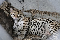 Ocelot Snoozing at Summit Zoo, Panama