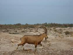 Friendly (greedy) ibex in Mitzpe Ramon