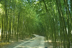 The Ulsan Bamboo Forest.