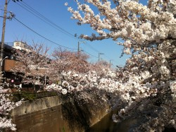 A shot of cherry blossoms from around my home