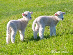New born lambs in Shakespear Park, North Island, New Zealand